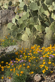 Mexican Poppies  Prickly-Pear and Other Chihuahuan Desert Plants in Rockhound State Park  NM