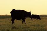 Dairy Cows at Sunset  Buffalo Gap National Grasslands  South Dakota