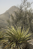 Yucca in the Organ Mountains  Southern New Mexico