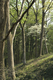 Dogwood Blooming in a Forest near the Tennessee River  Tennessee