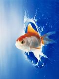 Orange  Yellow And White Fish Flying Through Water Splash