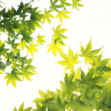 Maple Leaves Against White Background