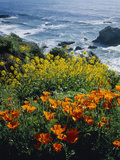 Poppies Along Coast CA USA