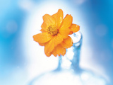 Close Up of Ruffled Marigold Bloom in Blue Bottle with Blurred Blue And White Background