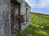 Donkey in Deserted Cottages on Great Blasket Island
