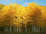 Aspen Trees in Autumn  Last Dollar Road  Telluride  Colorado  USA