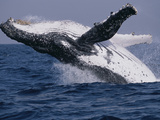 Humpback Whale (Megaptera Novaeangliae) Breaching in the Sea Papier Photo par Green Light Collection