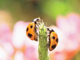 Close Up of Two Ladybugs