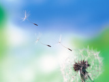 Dandelion Seeds Blowing From Dandelion Seed Head