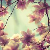 Magnolia Bloom II