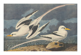 The White-Tailed Tropic Bird