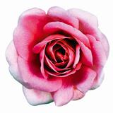 Pink Harmony II