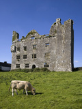 Charolais Calf by 15th Century Leamanagh Castle  the Burren  County Clare  Ireland