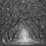 Evergreen Oak Alley (vertical view) (B/W)