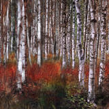 Birch Trees in Fire Grass 2