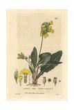 Common Cowslip  Primula Veris  From William Baxter's British Phaenogamous Botany  1834