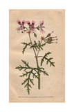 Rasp-leaved Geranium with Pink And Purple Flowers  Native of the Cape  Geranium Radula