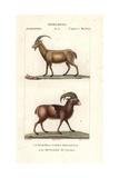 Wild Goat  Capra Aegagrus  And Mouflon of Corsica  Ovis Aries Orientalis