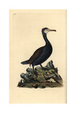 Great Cormorant From Edward Donovan's Natural History of British Birds  London  1809