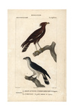 Eagle And Hawk From Sainte-Croix's Dictionary of Natural Science: Ornithology  Paris  1816-1830