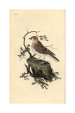 Woodlark From Edward Donovan's Natural History of British Birds  London  1809