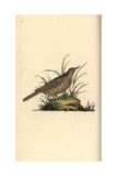 Dusky Lark From Edward Donovan's Natural History of British Birds  London  1799
