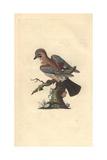Eurasian Jay From Edward Donovan's Natural History of British Birds 1799