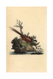 Pheasant From Edward Donovan's Natural History of British Birds  London  1799