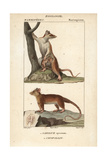 Opossums From Frederic Cuvier's Dictionary of Natural Science: Mammals  Paris  1816