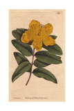 Large Flowered St John's Wort with Yellow Flowers  Hypericum Calycinum