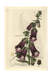 Purple Foxglove  Digitalis Purpurea  From William Baxter's British Phaenogamous Botany  1834