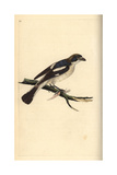 Woodchat Shrike From Edward Donovan's Natural History of British Birds  London  1799