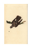Nightjar From Edward Donovan's Natural History of British Birds  London  1799