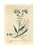 Forget Me Not  Myosotis Palustris  From William Baxter's British Phaenogamous Botany  1834