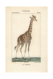 Giraffe From Frederic Cuvier's Dictionary of Natural Science: Mammals  Paris  1816