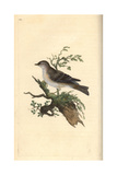Orphean Warbler From Edward Donovan's Natural History of British Birds  London  1809