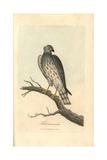 Ash Coloured Falcon  Falco Cineraceus  Montague's Harrier  Circus Cineraceus