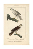 Hawks From Sainte-Croix's Dictionary of Natural Science: Ornithology  Paris  1816-1830