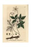 Wood Anemone  Anemone Nemorosa  From William Baxter's British Phaenogamous Botany  1834