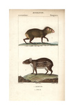 Agouti And Paca From Frederic Cuvier's Dictionary of Natural Science: Mammals  Paris  1816