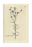 "Narrow-leaved Flax  Linum Tenuifolium  From Pierre Bulliard's ""Flora Parisiensis "" 1776  Paris"