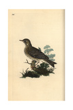 Field Lark (or Tree Pipit) From Edward Donovan's Natural History of British Birds  London  1809