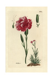 "Carnation  Dianthus Caryophyllus  From Pierre Bulliard's ""Flora Parisiensis "" 1776  Paris"