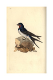 Barn Swallow From Edward Donovan's Natural History of British Birds  London  1816