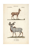 Nilgai And Kudu From Frederic Cuvier's Dictionary of Natural Science: Mammals  Paris  1816