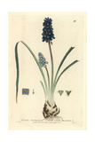 Starch Grape-hyacinth  Muscari Racemosum  From William Baxter's British Phaenogamous Botany  1834