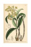 Dendrobium Gracilicaule  Pale Yellow Orchid Native of Eastern Australia