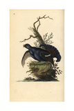 Black Grouse From Edward Donovan's Natural History of British Birds  London  1799