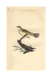 Willow Wren From Edward Donovan's Natural History of British Birds  London  1799