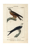 Kites From Sainte-Croix's Dictionary of Natural Science: Ornithology  Paris  1816-1830